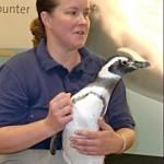 Shedd trainer Maris Muzzy and her Magellanic Penguin are both curious about the guests at the other end of the room