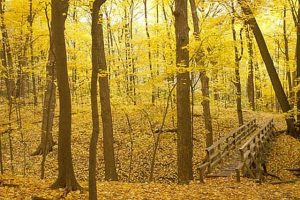 Golden paths await at Morton Arboretum. Photo compliments of Morton Arboretum