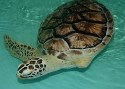 Meet Allison, an Atlantic sea turtle at a sanctuary on South Padre Island. (Sea Turtle Inc photo)