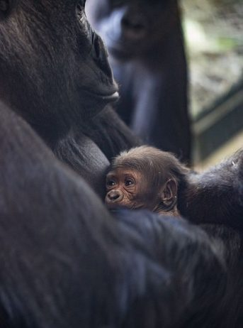 Baby gorilla born on Mother's Day at Lincoln Park Zoo. (Photo by Christoper Bijalba and is courtesy of (Lincoln Park Zoo)